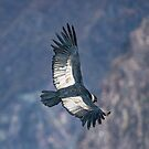 Andean Condor in Flight by Richard Shakenovsky
