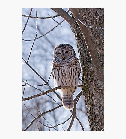 Backlit Barred Owl  Photographic Print