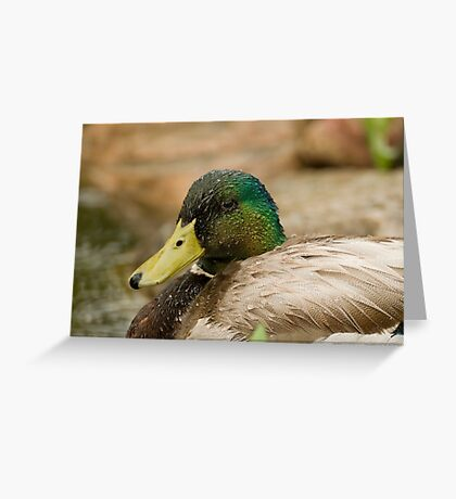 Wet Mallard Greeting Card