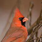 Mr Cardinal  by Daniel  Parent