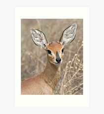 Young Male Steenbok - Up Close Art Print