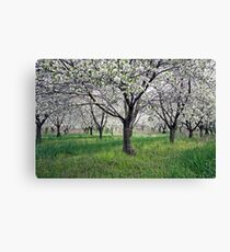 Canopy of Apple Blossoms Canvas Print