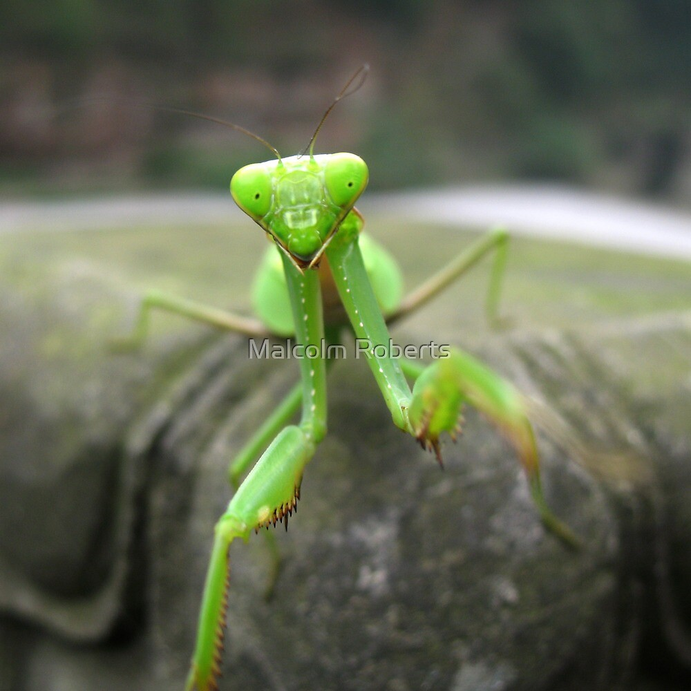 Mantis by Malcolm Roberts