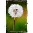 Dandelion Head by Chris Cudlip