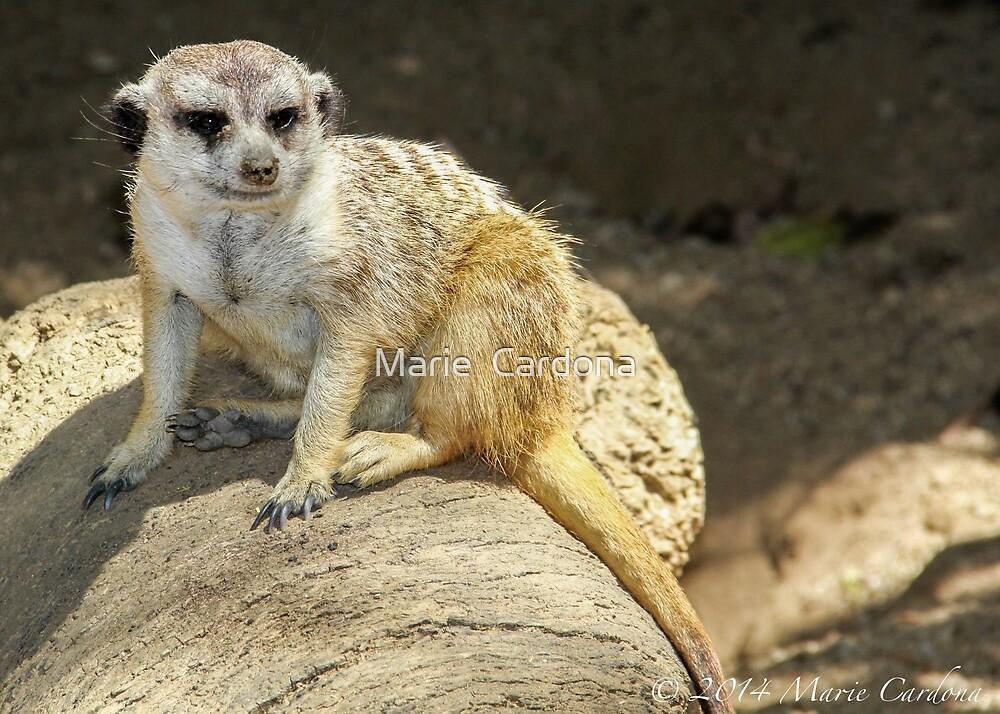 Meerkat by Marie  Cardona