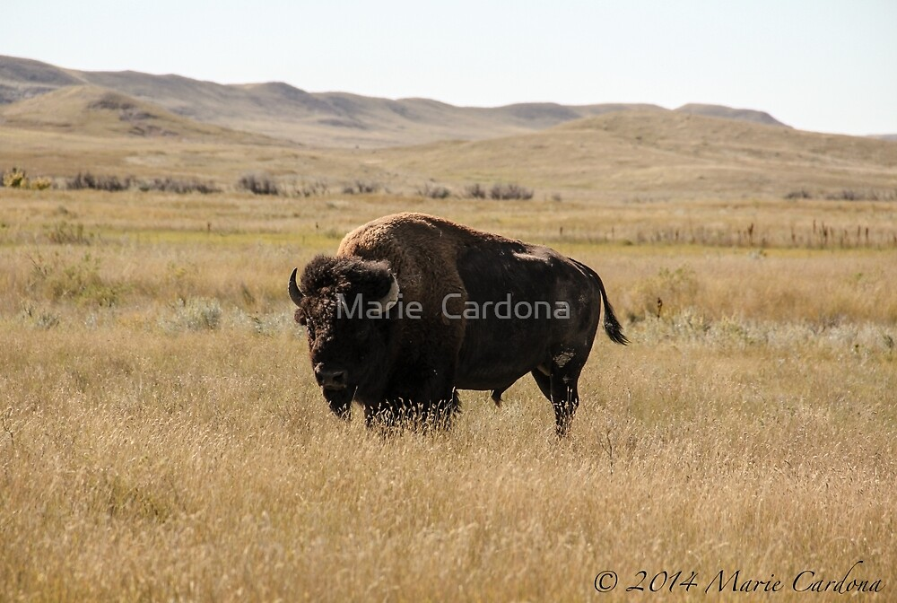 Bison by Marie  Cardona