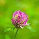 Pink clover flower by Arve Bettum