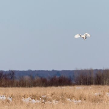 Snowy Owl 2018-24 by Thomasyoung