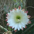 cactus flower by judithtaylor