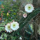 moonlight cactus by judithtaylor