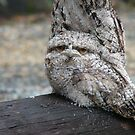 tawny frog mouth baby by judithtaylor