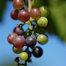 Grapes on the Vine by rabeeker