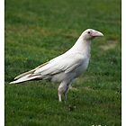 """Canada's White Minority"" Rare White Raven by NaturePrints"