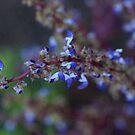 Coleus Blossom by Rob Dodd