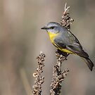 Eastern  Yellow Robin  by Kym Bradley