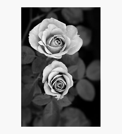 Miniature roses, mono Photographic Print