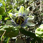 Large Passion Fruit! Vine entwined in shrubs. Garden, Banksia Park. Adelaide.  by Rita Blom