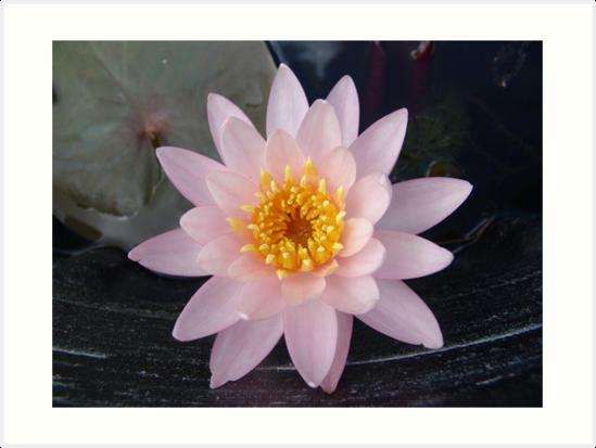 Pink Waterlily by May Lattanzio