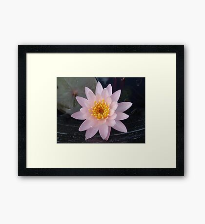 Pink Waterlily Framed Print