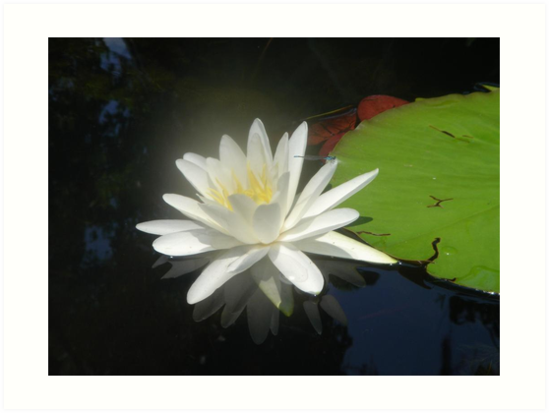 Waterlily with Damselfly by May Lattanzio