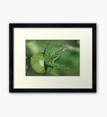 Green Baby Tomato Framed Print