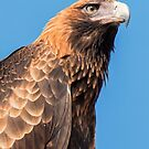 Wedge Tailed Eagle by Kym Bradley