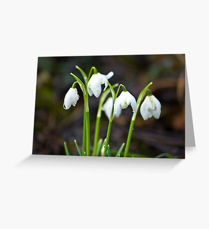 The Beauty of Snowdrops Greeting Card