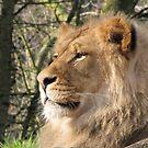 A Lion's Gaze by CarrieAnn