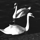 Prague Swans by Lenka Vorackova