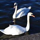 Prague Swans in color by Lenka Vorackova