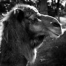 Camel by Eve Parry
