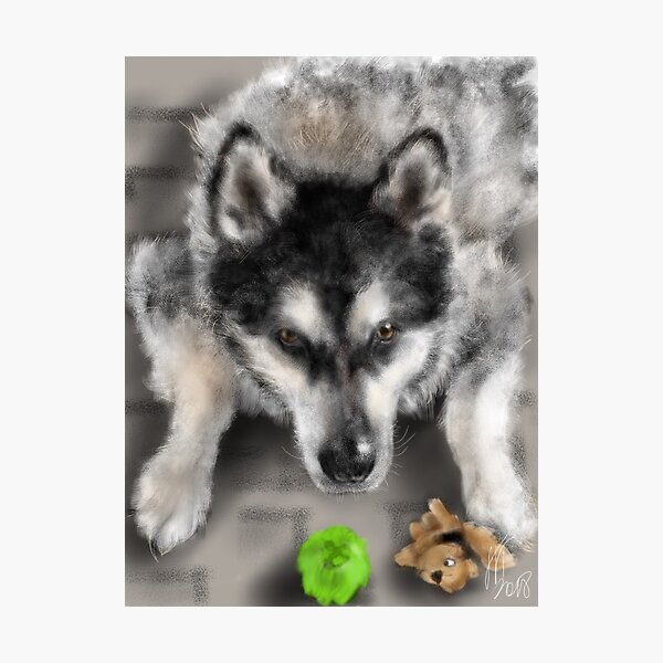 Playful Husky Dog With Toys Photographic Print
