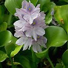 Eichhonia crassipes - Water Hyacinth by rd Erickson