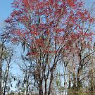 Acer rubrum - Swamp Maple - Red Maple by rd Erickson