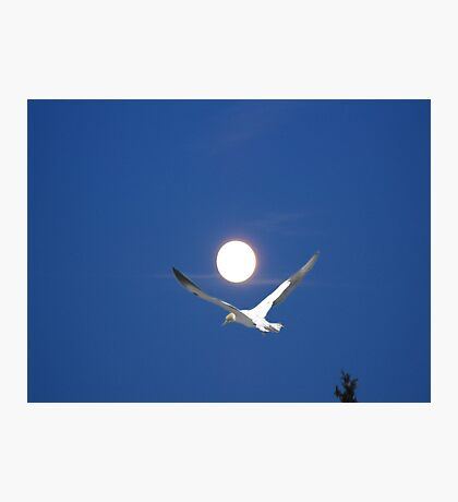 Moon and bird (Ganet) Photographic Print