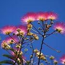 Pretty Mimosa by David Smith