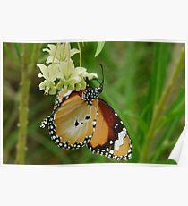 Lesser Wanderer Butterfly - Danaus chrysippus  Poster