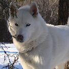 Snow on Snow Husky Dog Morning by RealPainter