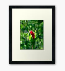 First Day Of My Small Red Rose Framed Print