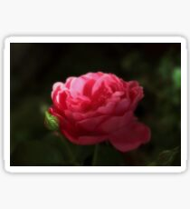 Soft Red Rose In The Evening Light Sticker