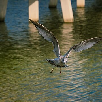 Seagull coming at me from below by imagetj