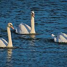 Three Swans by TJ Baccari Photography