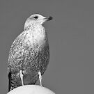 Seagull by frogs123