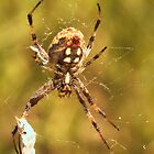 458 Western Spotted Orb Weaver by ptosis