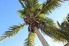 Florida Coconut Palm by Sun Dog Montana