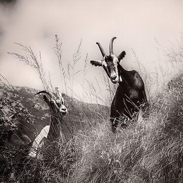Goats by birba