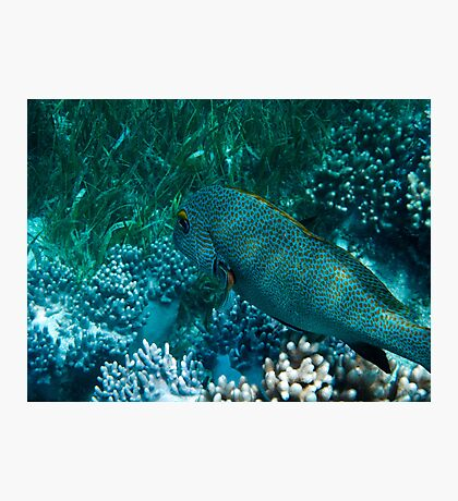 Spotted Coral Eating Wrass - Great Barrier Reef, Queensland Photographic Print
