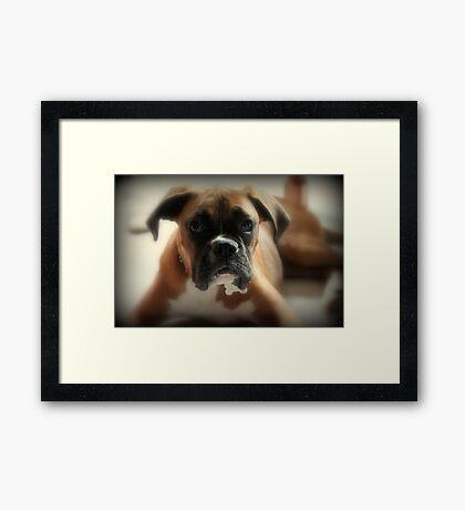Gesicht der Unschuld ~ Boxer-Hundeserie Gerahmter Kunstdruck