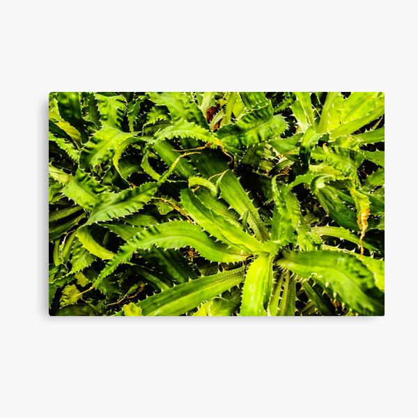 Spiky leaves Canvas Print