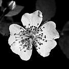Wild Rose- Black Sunshine IV by David Lamb